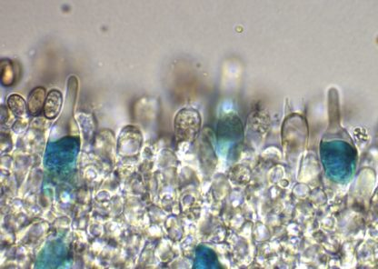 Pholiota chrysocystidia patent blue