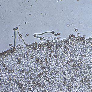Inocybe grammata pleurocystidia